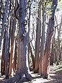 Starr 031214-0054 Eucalyptus obliqua.jpg