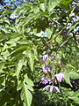 Starr 040129-0005 Solanum seaforthianum.jpg
