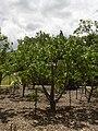 Starr 040318-0045 Hibiscus brackenridgei subsp. brackenridgei.jpg
