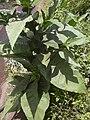 Starr 040501-0030 Nicotiana tabacum.jpg
