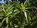Starr 040723-0120 Myoporum sandwicense.jpg
