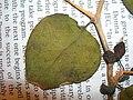 Starr 050427-0972 Bougainvillea x buttiana.jpg