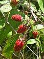 Starr 050817-3892 Rubus glaucus.jpg