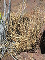 Starr 051202-5555 Arenaria serpyllifolia.jpg