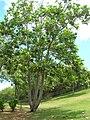 Starr 060703-8342 Artocarpus altilis.jpg