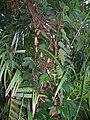 Starr 060905-8713 Passiflora vitifolia.jpg