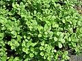Starr 061108-9685 Vitex rotundifolia.jpg