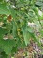 Starr 061129-1693 Chenopodium oahuense.jpg