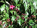 Starr 070111-3240 Ipomoea horsfalliae.jpg