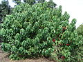 Starr 070830-8183 Euphorbia pulcherrima.jpg