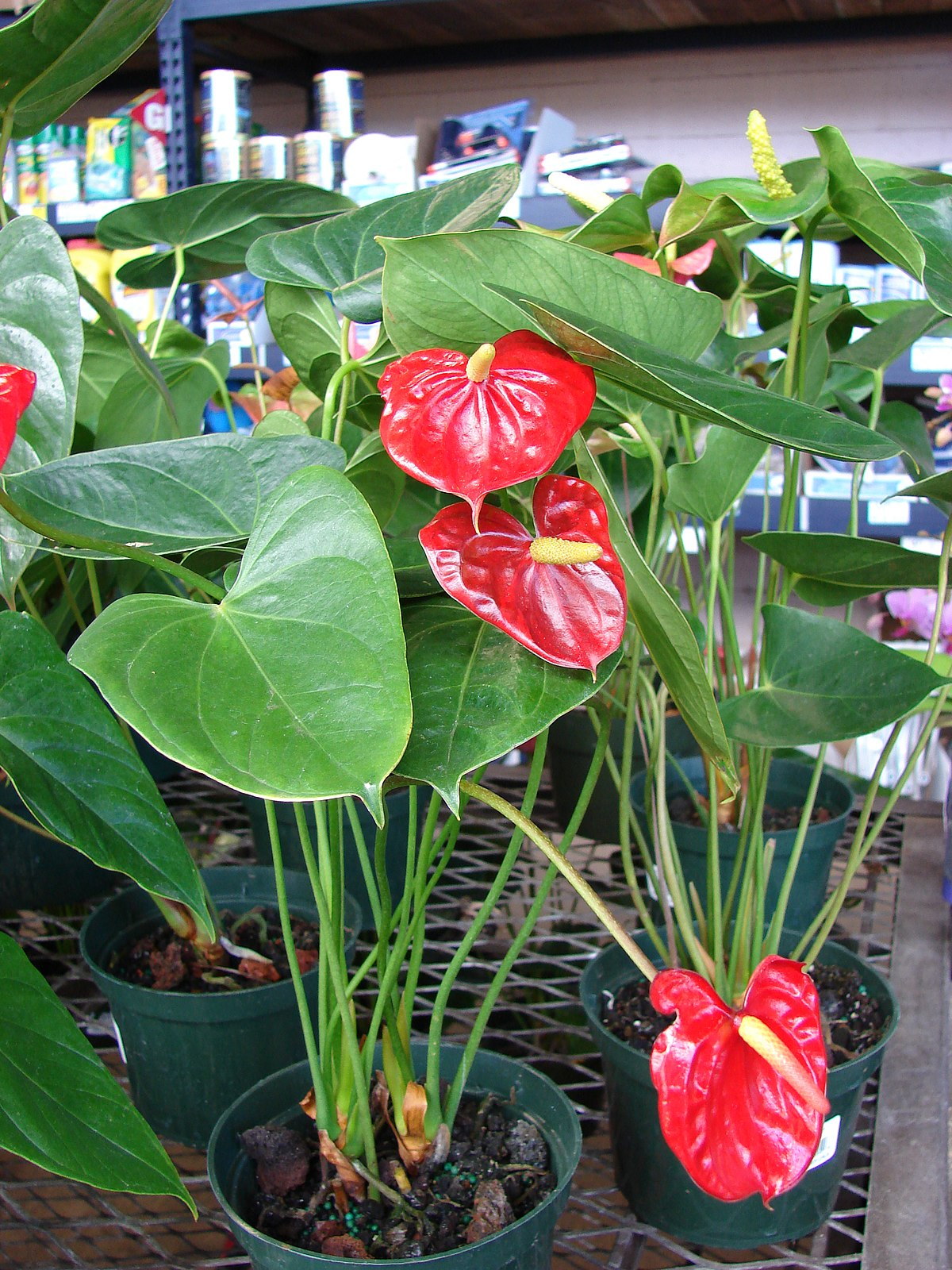 Anthurium wikip dia for Plantas decorativas de interior con poca luz