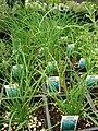 Starr 080117-1576 Allium tuberosum.jpg