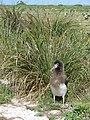 Starr 080605-6443 Eragrostis variabilis.jpg