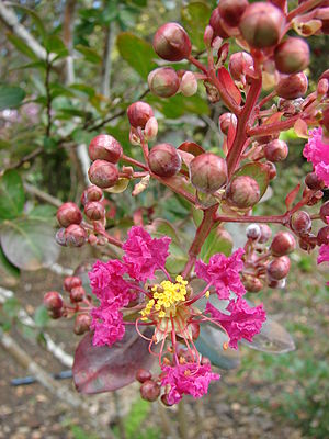 Lagerstroemia - L. indica flower and flower buds