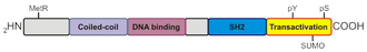 STAT5 - Domains of STAT proteins