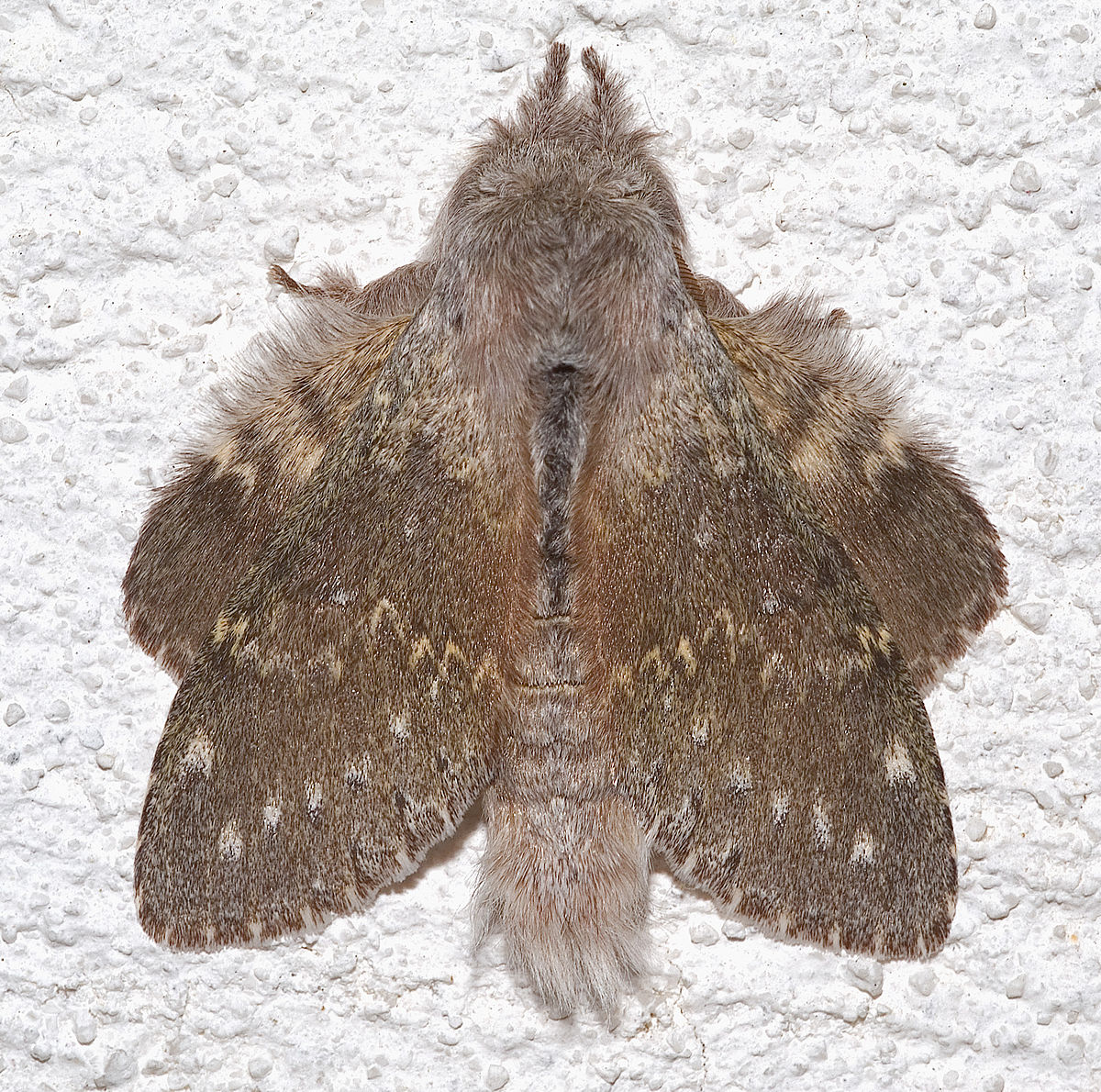 Lobster moth - Wikipedia