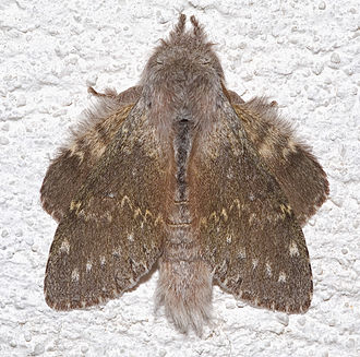 Lobster moth - At rest the wings are positioned with the costa and apex of the hindwings protruding from behind the forewings.