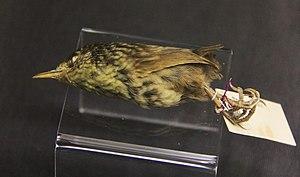 Lyall's wren - The Carnegie Museum specimen