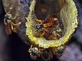 Stingless Bees (Tetragonisca angustula) (6788207763).jpg