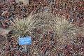 Stipa comata (Hesperostipa comata) - Regional Parks Botanic Garden, Berkeley, CA - DSC04484.JPG