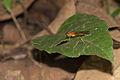 Stratiomyidae of Kadavoor.jpg