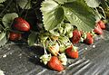 Strawberries on plastic film.jpg