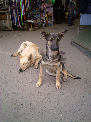 Free-ranging dog - Urban free-ranging dogs outside of Moscow, Russia