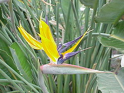 Strelitzia reginae0.jpg