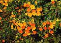 Streptosolen jamesonii - Flickr - Dick Culbert.jpg