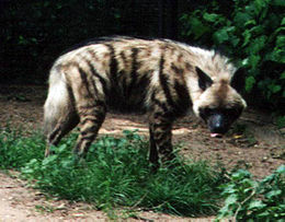 260px-Striped Hyena
