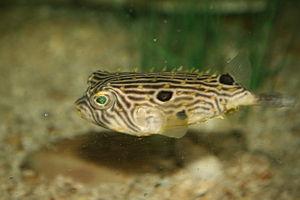 Striped burrfish - Image: Striped burrfish (Chilomycterus schoepfi)