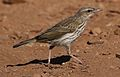 Striped pipit, Anthus lineiventris, at Walter Sisulu National Botanical Garden, Gauteng, South Africa (29213327611).jpg