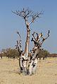 Strom moringa (Moringa ovafolia) - panoramio.jpg