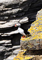 Stroma puffin.jpg