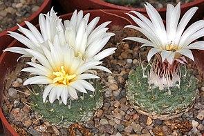 Strombocactus disciformis subsp. disciformis