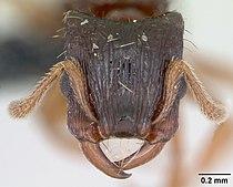 Strongylognathus testaceus casent0173185 head 1.jpg