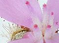 Stylidium graminifolium 'Grass Triggerplant' - flower detail.jpg