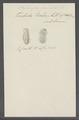 Stylonychia pustulata - - Print - Iconographia Zoologica - Special Collections University of Amsterdam - UBAINV0274 113 18 0010.tif