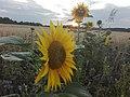 Sunflower Dortmund 48.jpg