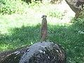 Suricata suricatta in Burgers' Zoo (Park) (3).JPG