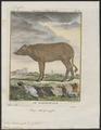 Sus babirussa - 1700-1880 - Print - Iconographia Zoologica - Special Collections University of Amsterdam - UBA01 IZ21900197.tif
