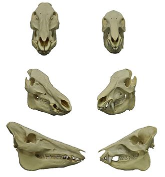 Peccary - Skulls of wild boar (left) and white-lipped peccary (right): Note how the upper canines of the peccary point downwards.