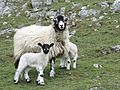 Swaledale with lambs closeup.jpg