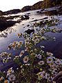 Symphyotrichum pilosum - Frost Aster.jpg