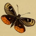 Synemon obscurella Westwood 1877.png