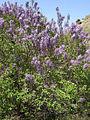 Syringa vulgaris Bulgaria 1.jpg