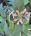Syzygium Munronii 01.JPG