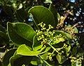 Syzygium caryophyllatum 14.JPG