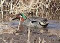 TEAL, GREEN-WINGED (1-30-12) patagonia lake, scc, az -01 (6791678067).jpg