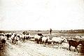 TLA 1465 1 8688 Lasnamäe lambad karjamaal 1900 1915 fotogr August Sakaria (Sakarias).jpg